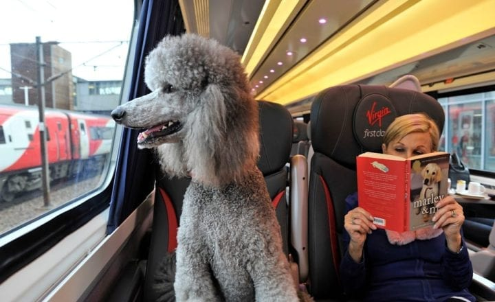 Poodle on train