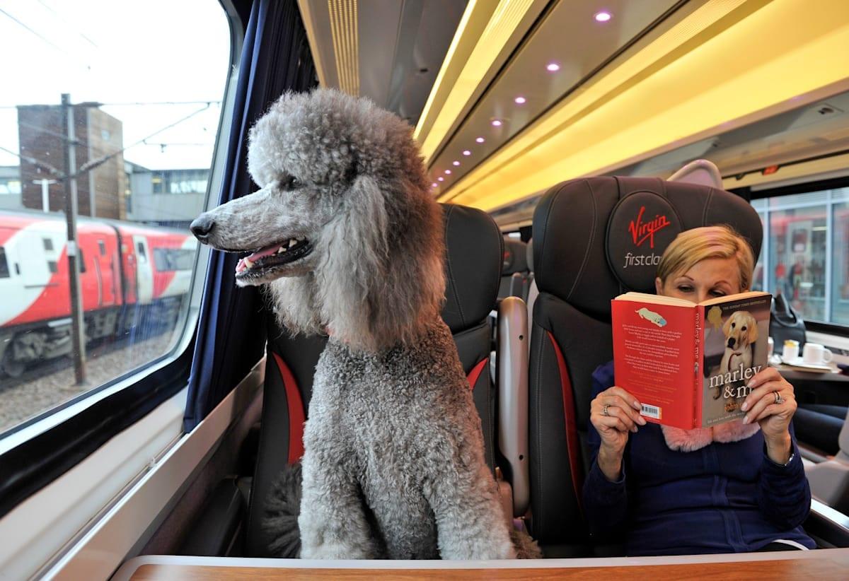 Poodle on train